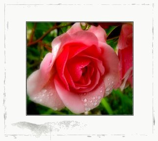 This is a picture of a beautiful rose captured by Yvette